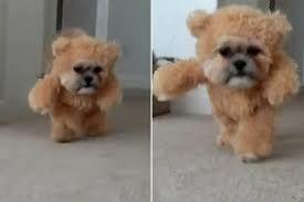 dog fancy dress teddy - Google Search