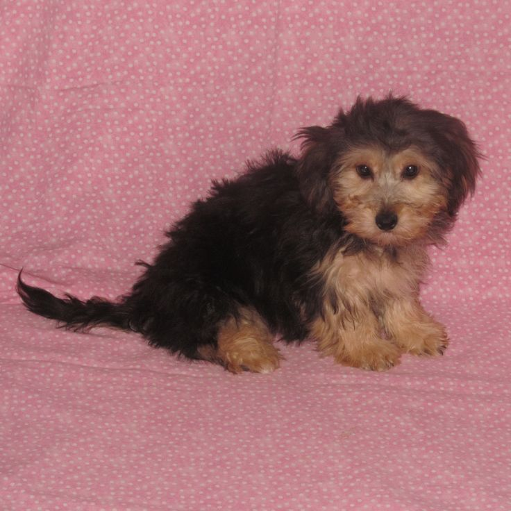 Yorkiepoo puppies for sale in MN. Yorkie Poo puppies are among the most family friendly dogs, and we have them!