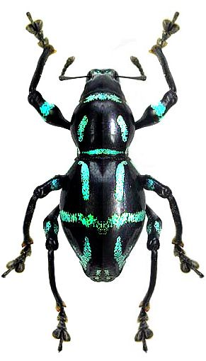 Pachyrrhynchus semperi