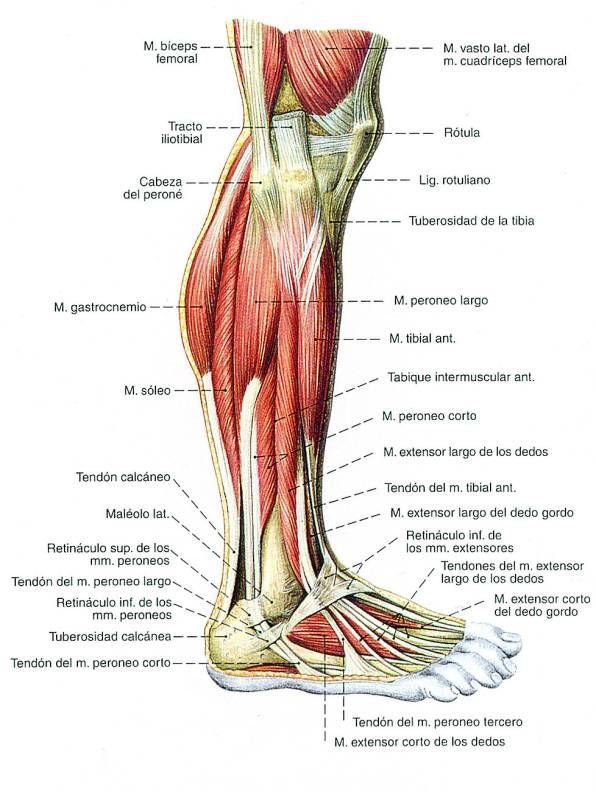 Perfecto Anatomía Muscular De La Pierna Fotos Embellecimiento ...