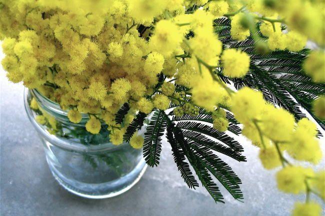 Mimosa Acacia El Lenguaje De Las Flores Acacia Flores Las Lenguaje Acacia Flores Las Lenguaje Mimosa In 2020 Plants Mimosa Mimosa Tree