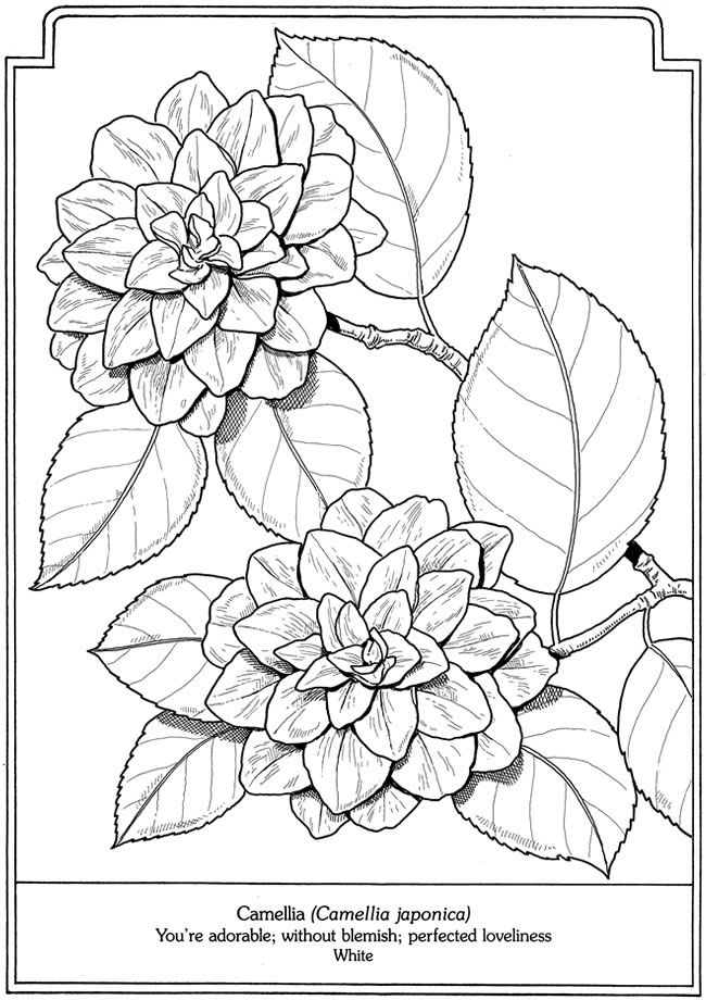 Camellia Japonica From The Language Of Flowers Coloring Book