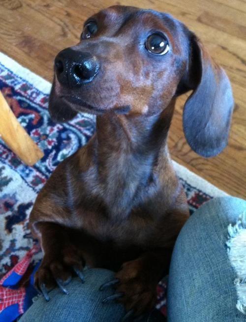 Resultado de imagen para dachshund asking for a walk