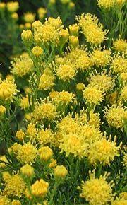 Goldhaar-Aster (Aster linosyris)