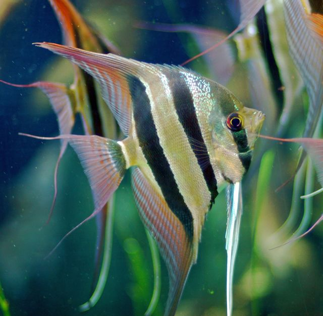 1000 ideas about aquarium fish on pinterest pretty fish for Common freshwater aquarium fish