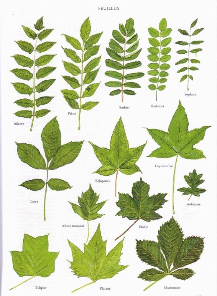 Quatre pages d'encyclopédies représentant les feuilles de 53 feuillus et 19 conifères ; ça peut aider à l'identification, cliquer pour agrandir les planches. - - Merci Bordas… ____ Un article qui p...