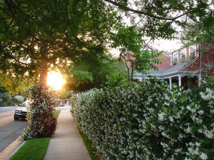 17 Best Ideas About Front Yard Hedges On Pinterest