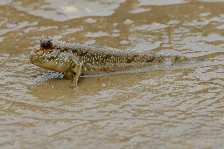 ... Brackish Water Fish starring.....the Mudskipper! on Pinterest