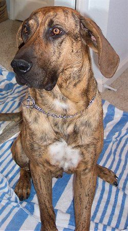 plotthound photo | Plott Hound Information and Pictures, Plott Hounds