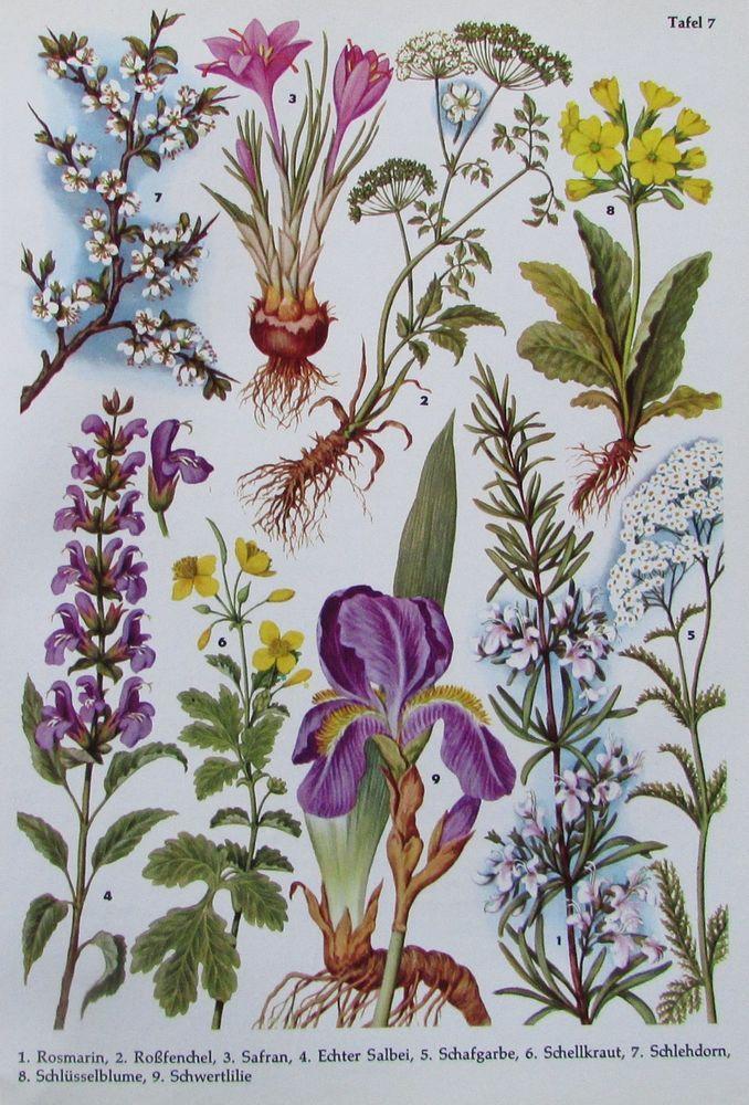 305 besten botanik blumen pflanzen bilder auf pinterest. Black Bedroom Furniture Sets. Home Design Ideas