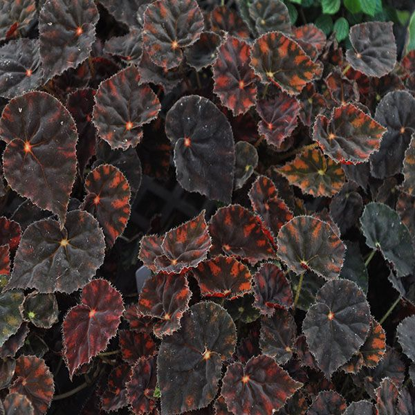 Begonia Copper Sunset Steve S Leaves In 2020 Begonia Plants Leaves