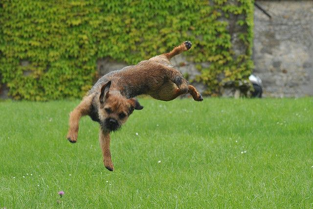 Border Terrier & Frisbee by exer6, via Flickr