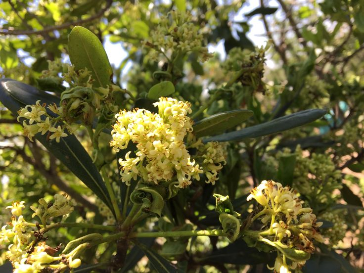 Pittosporum viridiflorum (Cheesewood)