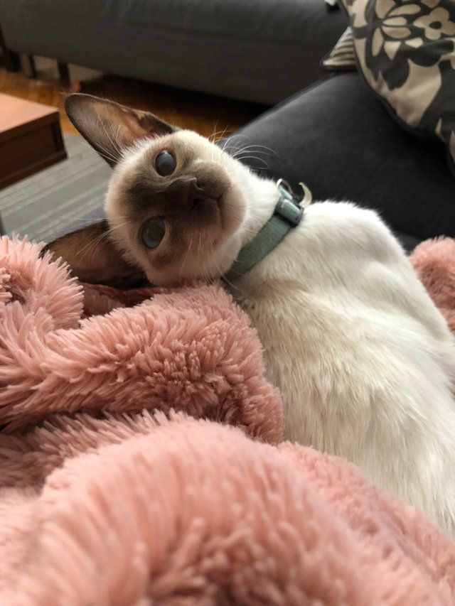 Reddit The Front Page Of The Internet Cat Breeds Siamese Cats Siamese Cats