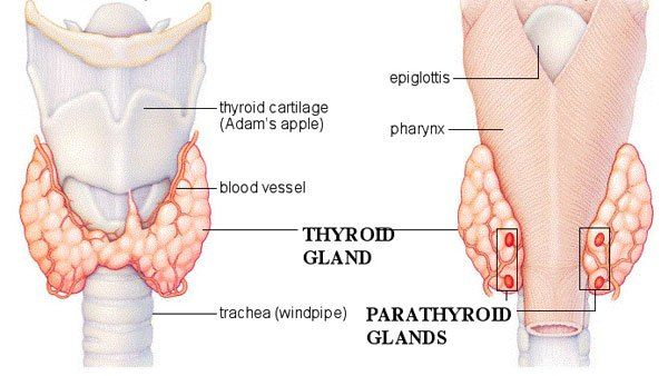 glandele paratiroide