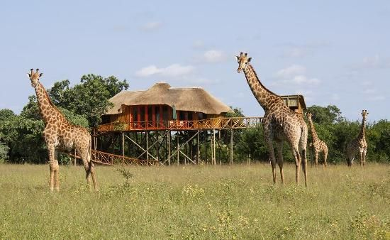 Pezulu Tree House Game Lodge: girrafes in front of Dream Treehouse/Pezulu Tree House Lodge