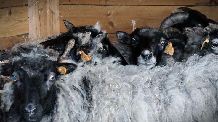Owce wrzosówki w Siedlisku na Wygonie na Mazurach