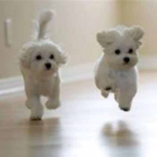 Cute: Adorable Puppys, Maltese Puppys, So Cute, White Puppys, Happy Puppys, Baby Animal, Little Puppys, Cute Puppys, Malt Puppys