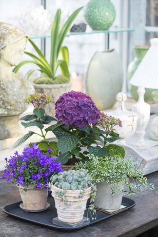 hydrangea 'deep purple' + campanula + trifolium 'dragon's blood' (green ground cover) + orostachys iwarenge (succulent)