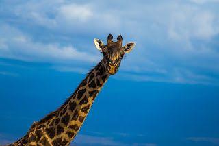 Sabes que las jirafas no pueden dormir totalmente echadas? Cómo duermen las jirafas? Duermen en lapsos de no más de 5-7 minutos seguidos durante la noche lo que es normal que rara vez las veamos dormidas. Lo suelen hacer de pie pues la altura es la principal defensa contra sus depredadores. Sin embargo también pueden dormir recostadas sobre sus patas y haciendo un arco con su cuello apoyándose en su cuerpo. La elevación de la cabeza no puede estar por debajo del corazón porqué la sangre…