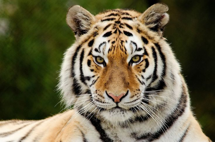 Do you know that: If the kill is large, the tiger may drag the remains to a thicket and loosely bury it with leaves, then return to it later. See more Tiger Information For Kids at http://factoflife.net/animals/fun-and-cool-tiger-facts-for-kids.html