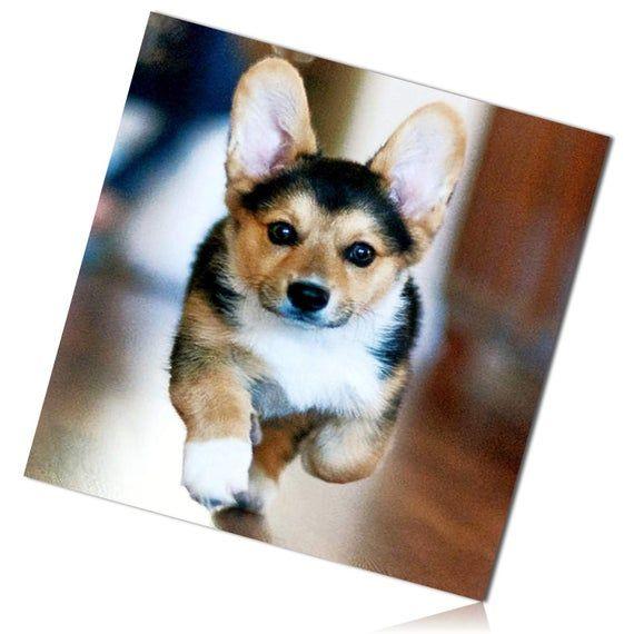 Black Brown White Cute Alert Ears Up Welsh Corgi Puppy Dog Doggy