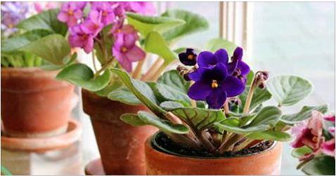 Как обеспечить цветение фиалок 10 месяцев в году