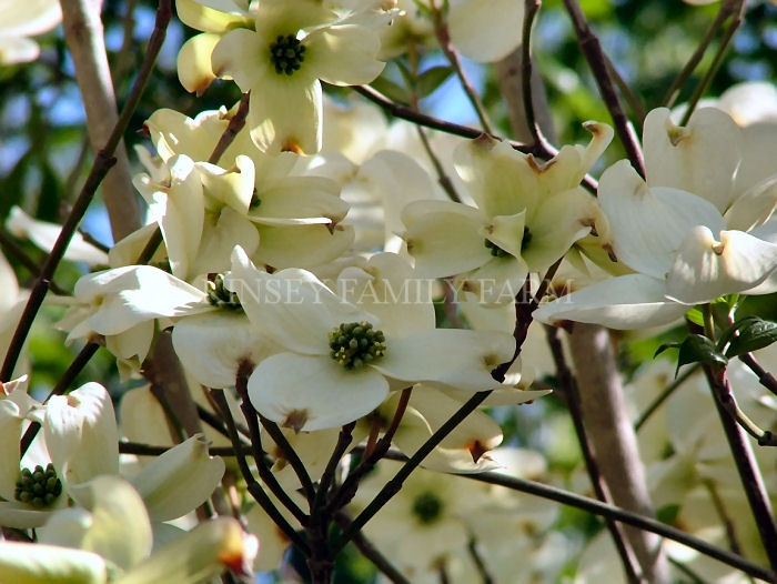 7 best flowers dogwood images on pinterest blossom trees dogwood florida dogwood tree cornus florida our native species in the south mightylinksfo