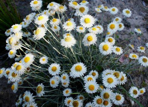Leucochrysum albicans - (Hoary Sunray) White Sunray