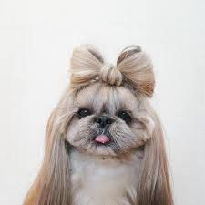 Resultado de imagen para perro shitzu caricatura