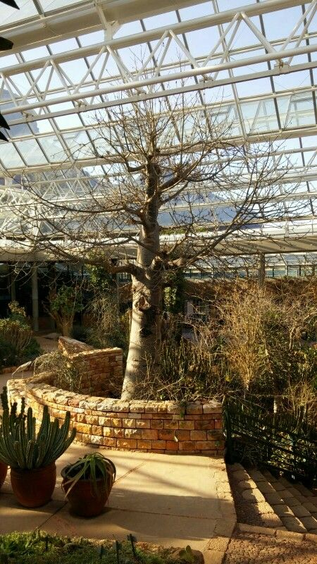 Greenhouse Baobab tree, Kirstenbosch Gardens, Western Cape, South Africa