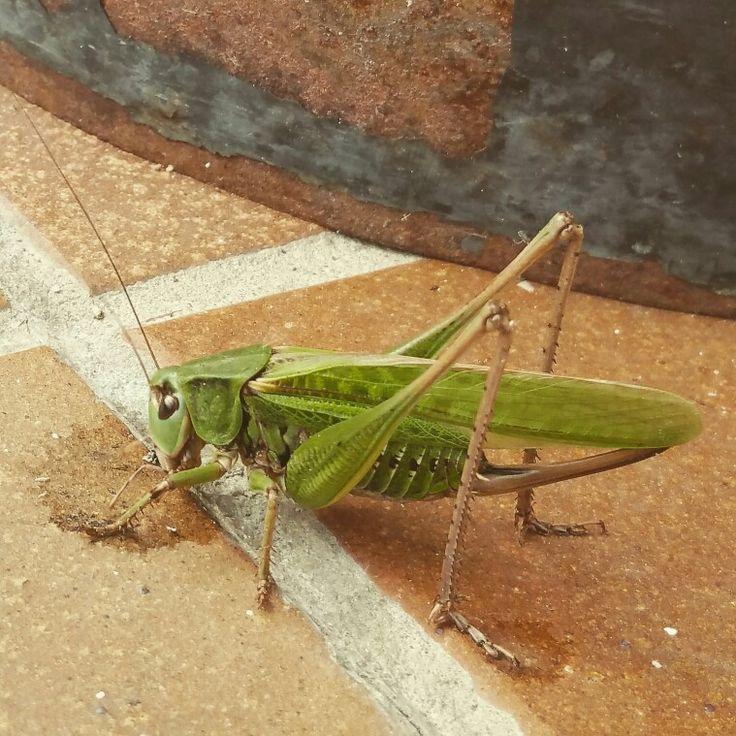 grasshopper in our garden, somewhere in Slovakia