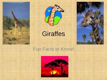 Giraffes - Fun Facts About Giraffes PowerPoint. Learn about giraffes! This giraffe PowerPoint has interesting and fun facts about the life of a giraffe. Informational text can be used to introduce or supplement a jungle theme unit or a unit about the zoo, giraffes, or African animals.