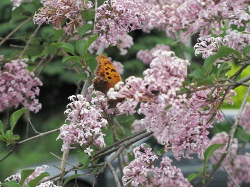 Butterfly in the lilacs   photo Tatiana Dokuchic   post Raggedy Beauty