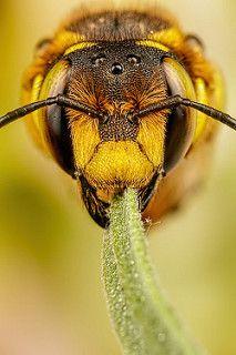 European Wool Carder Bee IV   da Dalantech