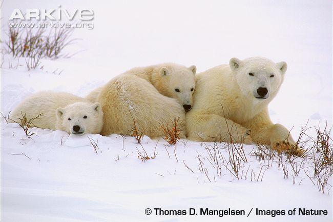 Polar Bear 42 D 25 7 best images a...