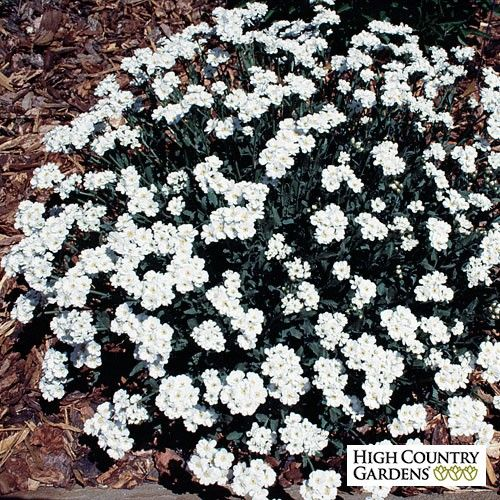 Greek yarrow achillea ageratifolia low water plants for Low water indoor plants