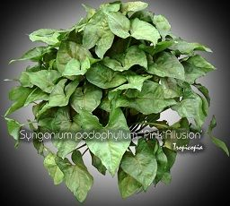 house plants picture and photo gallery from sedum to tilandsia tropical plants and indoor plants - House Plants Vines