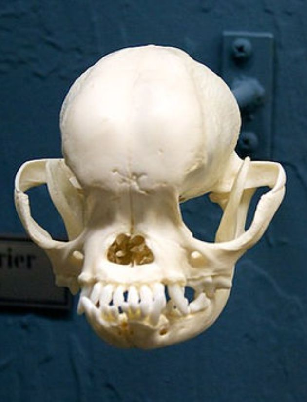 pug skulls 17 best images about skeletons and skulls on pinterest museums human skull and 6481