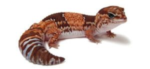 African fat tailed geckos look like s'mores. Plain and simple.