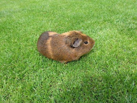 Mon cochon d'inde fait de l'exercice
