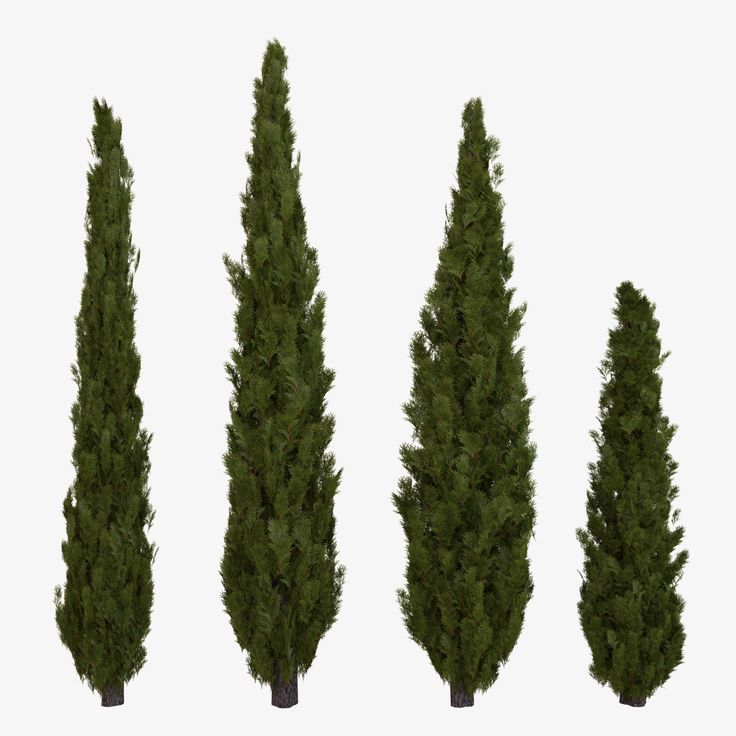 25 best ideas about italian cypress trees on pinterest for Typical landscaping plants