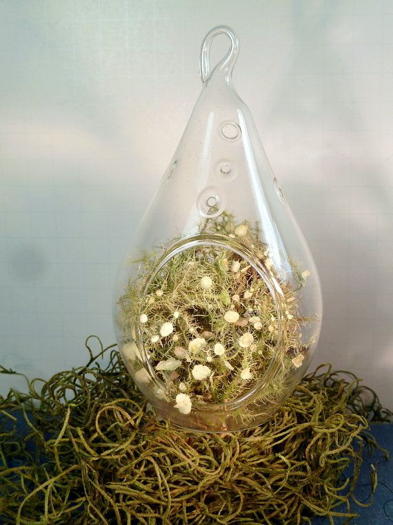 """Small Hanging Glass Terrarium, Lichen, Great for HOME or OFFICE. Unusual Gift. Terrariums by mossterrariums on ETSY. Here is a beautiful contemporary glass terrarium. Display it where it will catch the light and bring nature into your home or office. This terrarium is 5-1/2"""" high and approximately 3"""" in diameter. The terrarium shown is an example. Your terrarium will be very similar. Complete with glass hook, this unique glass vase contains a very unique fuzzy fruticose lichen called ol..."""