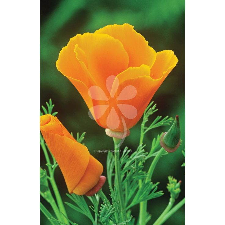 Eschscholzia californica 'Orange King' is a tall, tangerine Californian poppy with delicate, silvery foliage. A perfect garden plant for edging paths, giving a naturalistic feel to any garden.