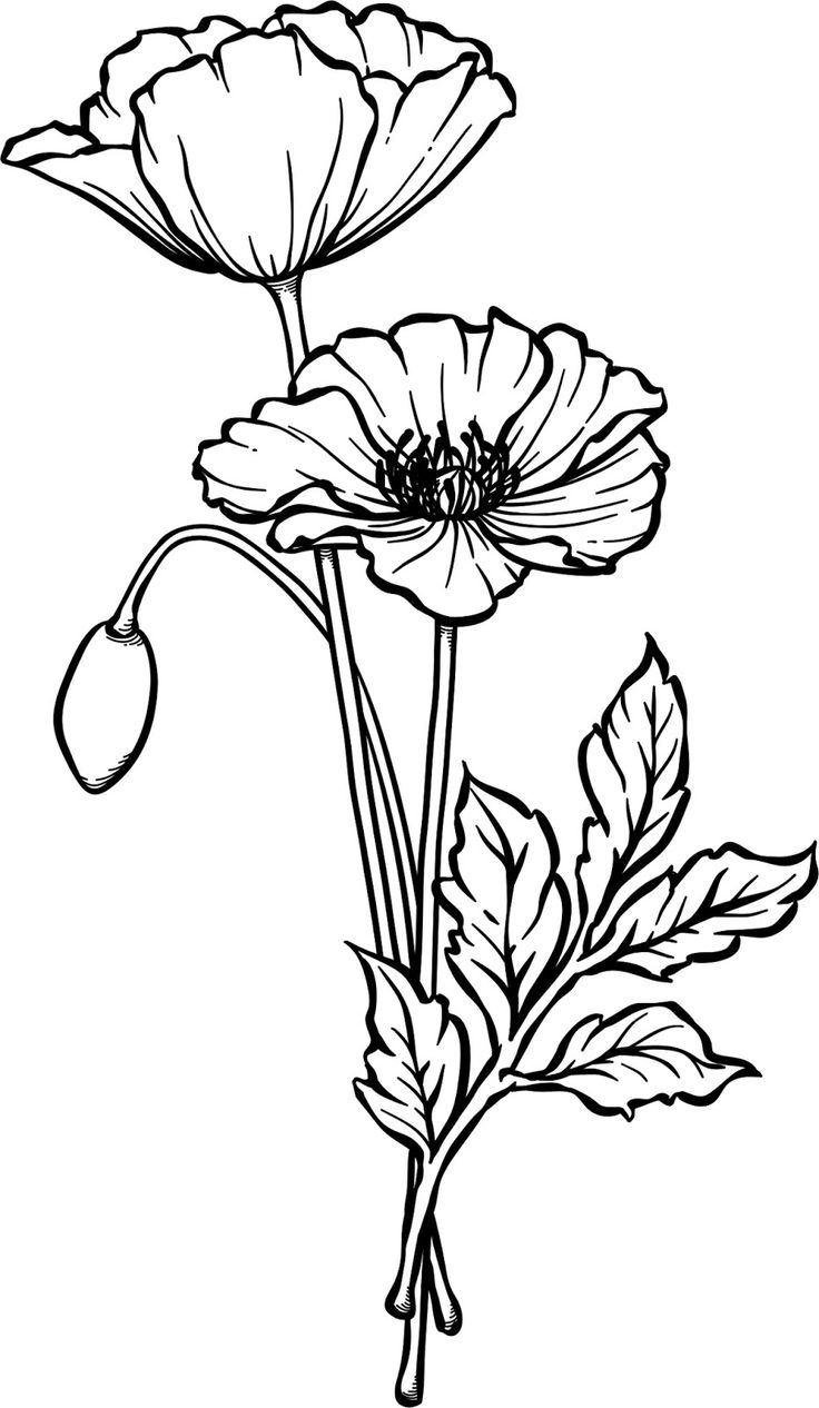 Картинка цветка мак карандашом