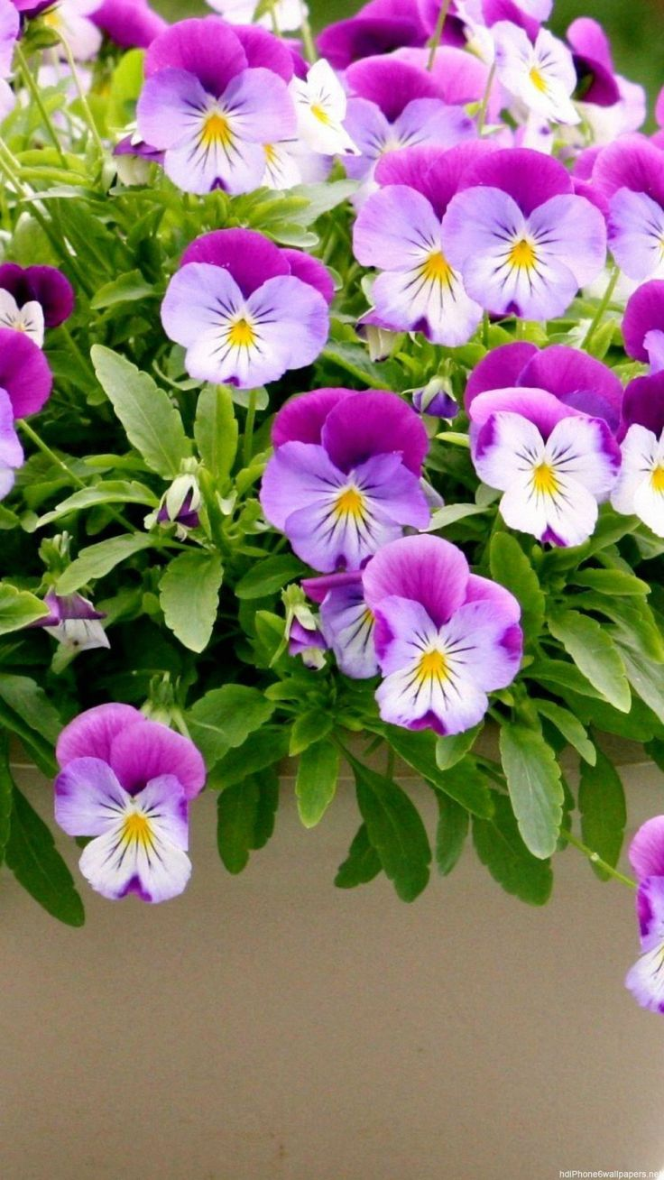 Pansies flowers - purple!                                                                                                                                                                                 Mais