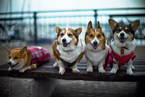 corgis! MICKEY! @Stephanie Jones