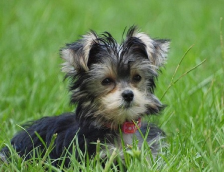 ... Adorable Baby, Amazing Animals, Yorkshire Terriers, Yorkie Puppy Luv Yorkshire Terrier 911
