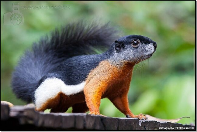 Prevost's Squirrel - photo by Petr Čunderlík;  Borneo, Indonesia;  Prevost's squirrel (Callosciurus prevostii), or Asian Tri-colored Squirrel, is found in forests in the Thai-Malay Peninsula, Sumatra, Borneo and nearby smaller islands.  They have black backs, white sides, and red-brown undersides.