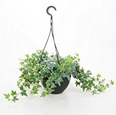 AIR PURIFIER— English ivy care guide